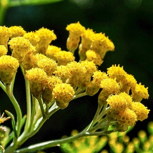 БЕССМЕРТНИК АБСОЛЮТ ЭКСТРА Payan Bertrand (HELICHRYSUM ABSOLUTE EXTRA Payan Bertrand)