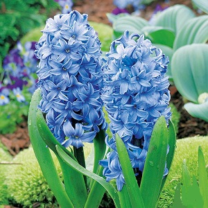 HYACINTH BODY NO 3
